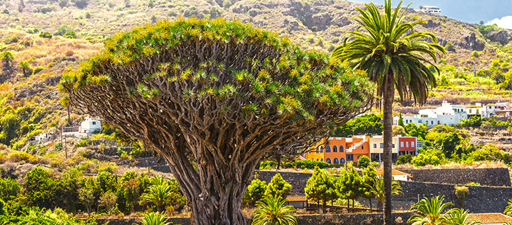 Tenerife's ancient tree