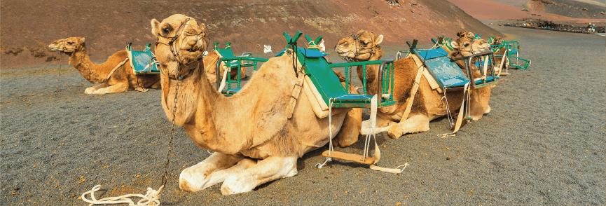 Camel Ride ''Echadero de Camellos''