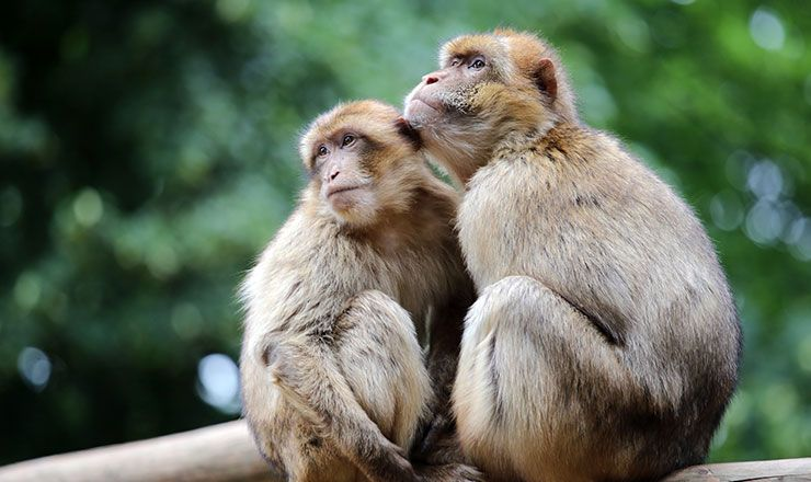 Barbary_Macaques